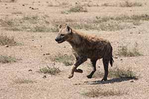 Hyena runs_7776