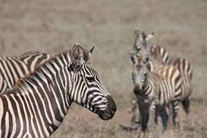 Serengeti zebra_7451