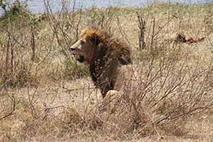 Serengeti lion_7567