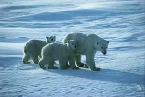 Manitoba Polar bears churchill 003