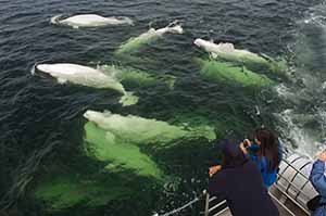 Manitoba beluga whales