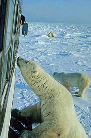 Manitoba polar bear tundra vehicle