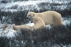 Manitoba polar bears churchill 002