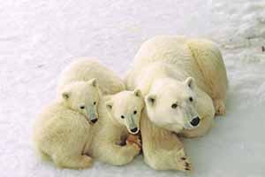 Manitoba polar