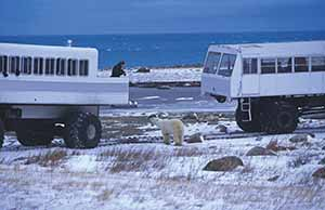 Manitoba tundra vehicle polar bear