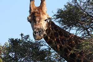 S Africa Giraffe acacia9