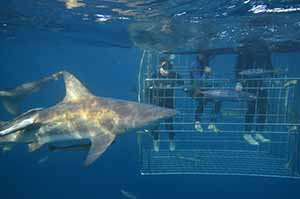Travel Extra editor Eoghan Corry photographed (on left) during a shark cage dive at Rocky Bay beach in KwaZulu Natal during Indaba 2013