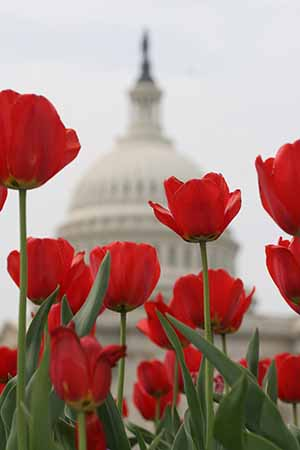 U.S. Capitol with tulips#39